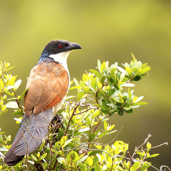 Animal Animal Themes Animal Wildlife Animals In The Wild Beak Beauty In Nature Bird Burchell's Coucal Close-up Coucal Day Green Color Leaf Nature No People One Animal Outdoors Perching Plant Rainbird Tree