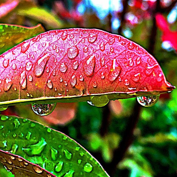 Close-up Day Focus On Foreground Nature No People Outdoors Red Autumn Autumn Leaves Autumn Collection Raindrops Raining Season Rainy Foliage In Rain Beauty In Nature Leaves Backgrounds Wet Dripping