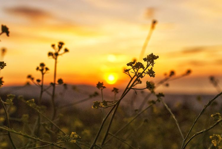 Close-up of orange flower on field against sky during sunset