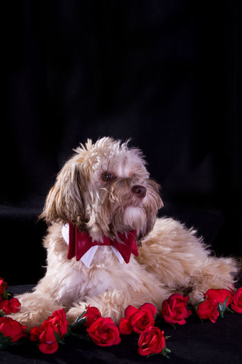 Rosenkavalier Bolonka Bolonka Zvetna Fliege Haustier Hund Kavalier Rosen Rosenkavalier Rude