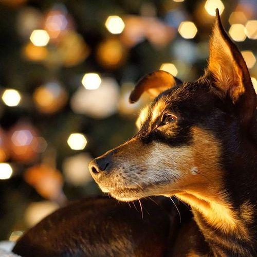 Dobermannpinscher Dogsofinstagram Puppy Pet Minipin Zwergpinscher Pincher Cutedog Xmas Lights Bokeh Rescuedog