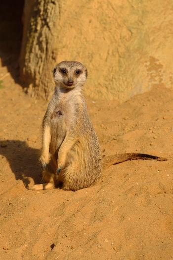 Portrait Of Mongoose Sitting On Sand