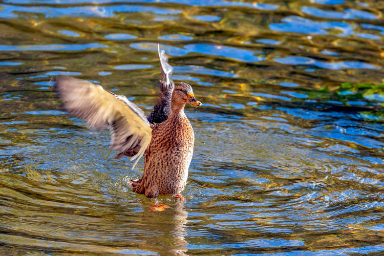 Animal Themes Bird Animal Wildlife Animal Animals In The Wild One Animal Water Vertebrate Lake Waterfront Rippled Nature No People Day Flying Motion Duck Water Bird Poultry Outdoors Flapping