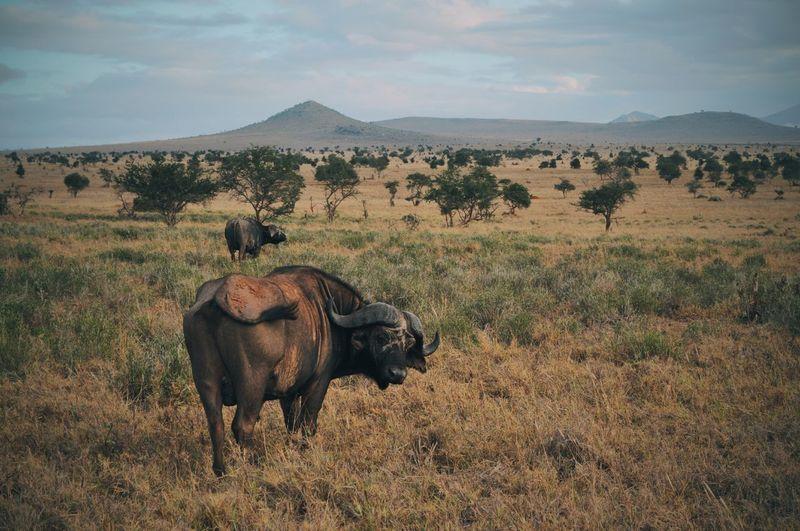 Water Buffalos On Field Against Sky