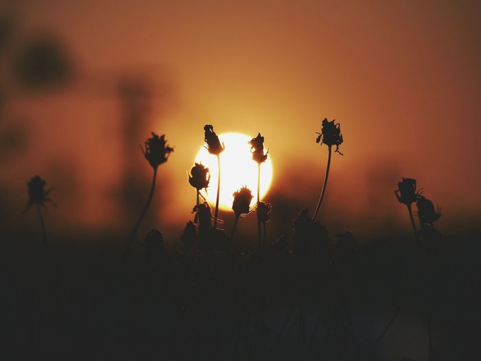 Dry Grass At Sunset.. Drygrass Sunset Nature Flower Silhouette Beauty In Nature No People Outdoors Close-up Flower Head Sunset_collection Warm