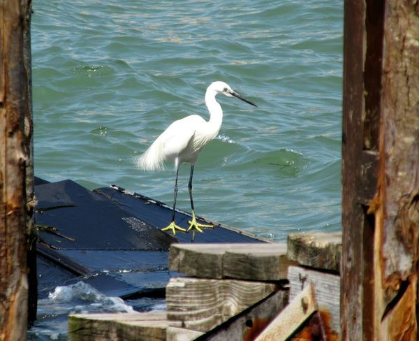 Garzetta Little Egret