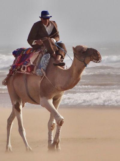 Sidi Kaouki Morocco Beach Dromedary