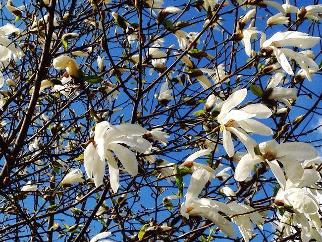 Spring Spring Flowers White Flowers Blue Sky