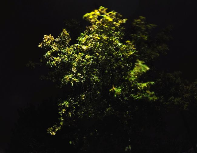 Growth Close-up Green Color Plant Flower Nature Night Freshness Beauty In Nature Black Background Green Branch Studio Shot Fragility Growing Tranquility Bloom No People In Bloom Botany