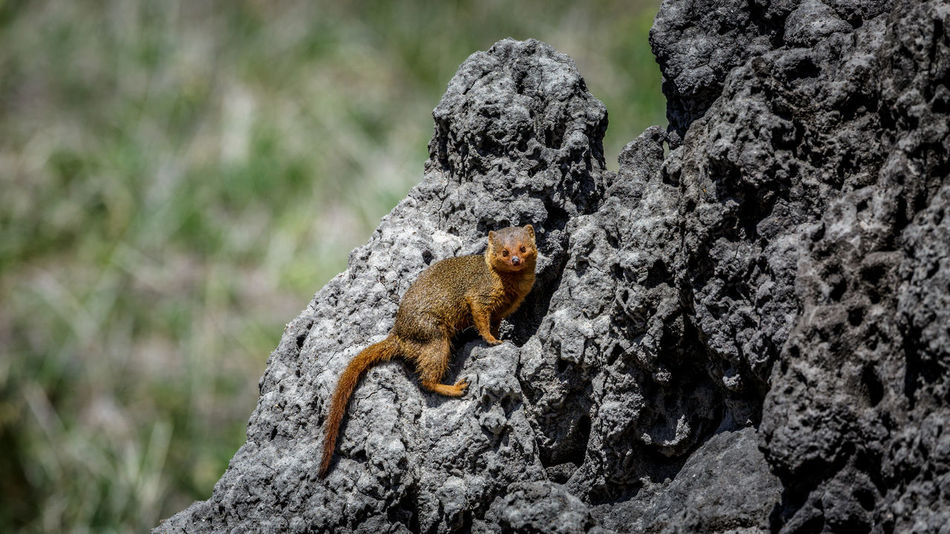 2017 African Beautiful National Rock Tanzania Tarangire Travel Africa Animal Animal Themes Animal Wildlife Animals In The Wild Dwarf Mongoose Nature No People One Animal Outdoors Park Wild Wildlife