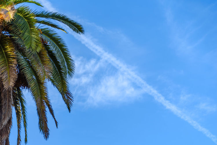 Upper section of palm tree against blue sky with vapor trail in the background Copy Space Palm Palm Tree The Week On EyeEm Trees Beauty In Nature Blue Blue Sky Contrail Day First Eyeem Photo Low Angle View Nature Negative Space Outdoors Palm Tree Sky Vapor Trail