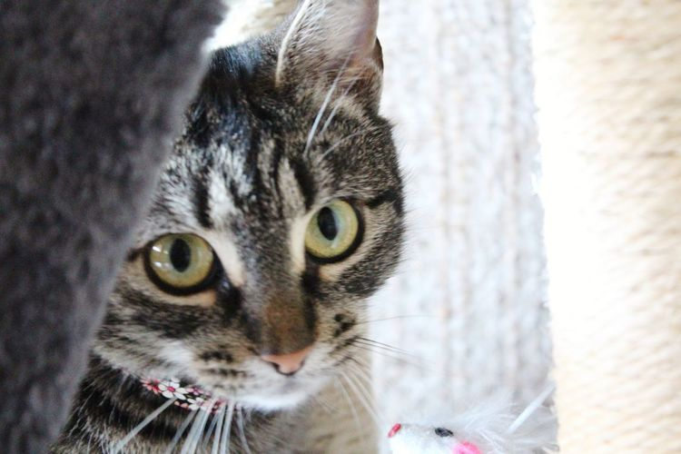 Rescued AdoptDontShop EyeEm Selects Pets Portrait Feline Looking At Camera Domestic Cat Yellow Eyes Whisker Close-up Animal Eye Tabby Cat Animal Nose Kitten Cat Tabby Animal Head