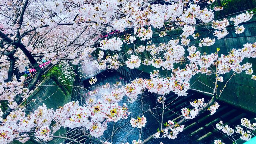 Flower Tree Cherry Blossom 170403 Cherry Blossoms 桜