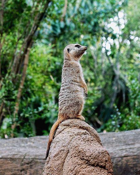 One Animal Meerkat No People Zoo