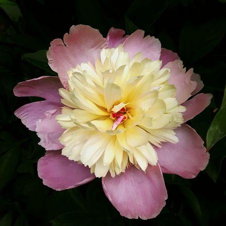 Flowers,Plants & Garden Peony