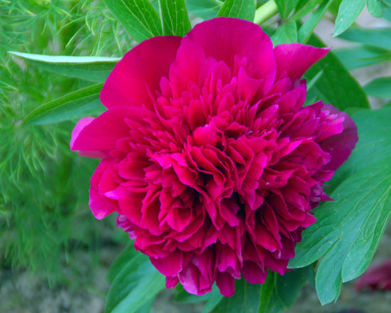 Creative Light and Shadow Creativity Paeonia Paeonia Suffruticosa Beauty In Nature Bloom Blooming Blooming Flower Blossom Close-up Day Flower Flower Head Fragility Freshness Growth Leaf Nature No People Outdoors Petal Pink Color Plant