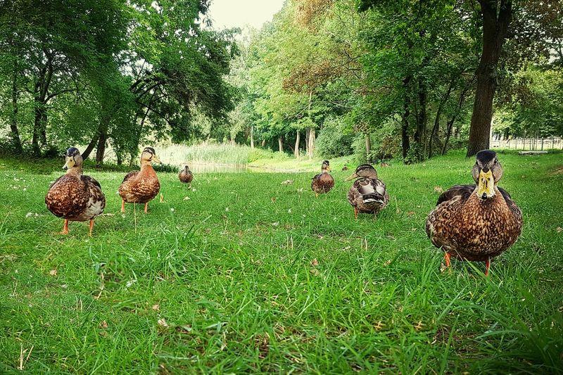 Nature Poland Beauty In Nature Służew Tor Wyścigów Konnych Outdoors Ducks