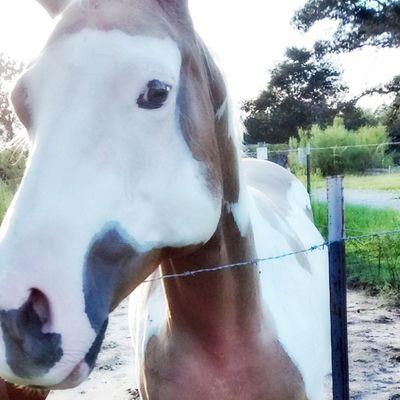 Horses Country Life Palomino Paint Gelding
