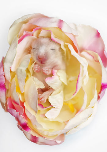 <3 Beauty Blossom Close-up Cute Animals Cute Pets Cute Puppy Easter Flower Flower Power Gerbil Gerbil Puppy Heartbeat Moments Little Baby Little Paws Love Lovely Mice Mouse Rodent Rose🌹 Sleeping Baby  Sweet Sweet Baby Sweet Dreams White Background