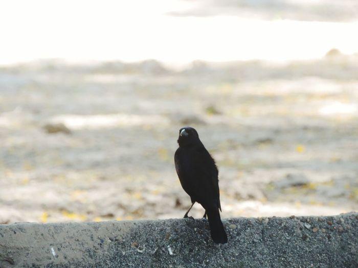 Pajaro Pajaro Negro Bird Black Bird Black Negro
