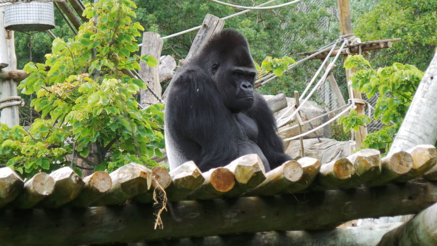 Low angle view of gorilla on structure at zoo