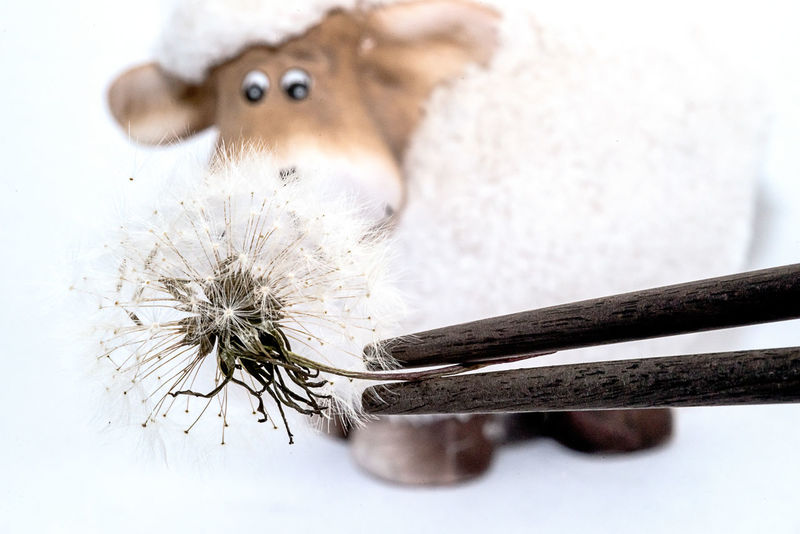 Trying to feed a sceptical European sheep with dadelion seeds by means of chopsticks Chopsticks Close Up Dandelion Seed Focus On Foreground Indoors  Macro No People Odd Oddities Precision Work Sculpture Selective Focus Sheep Strange Studio Shot White Background
