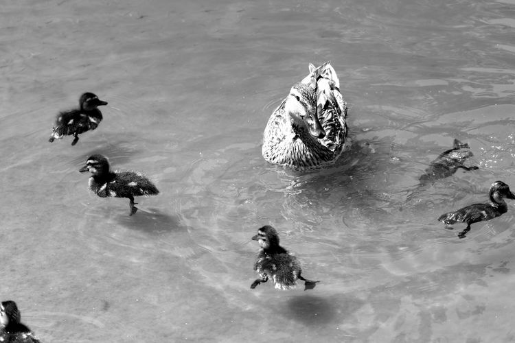 High Angle View Of Duck With Ducklings In Pond