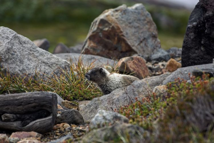Baby marmot Cascadiaexplored One Animal Animal Themes Close-up Rock - Object Nature Focus On Foreground Rock Stone Rocky Beauty In Nature Day PNWonderland MountRainier PNW Outdoors