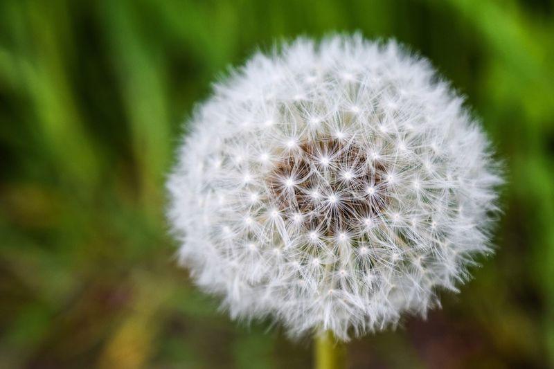 Dandelion in the park. Dandelion