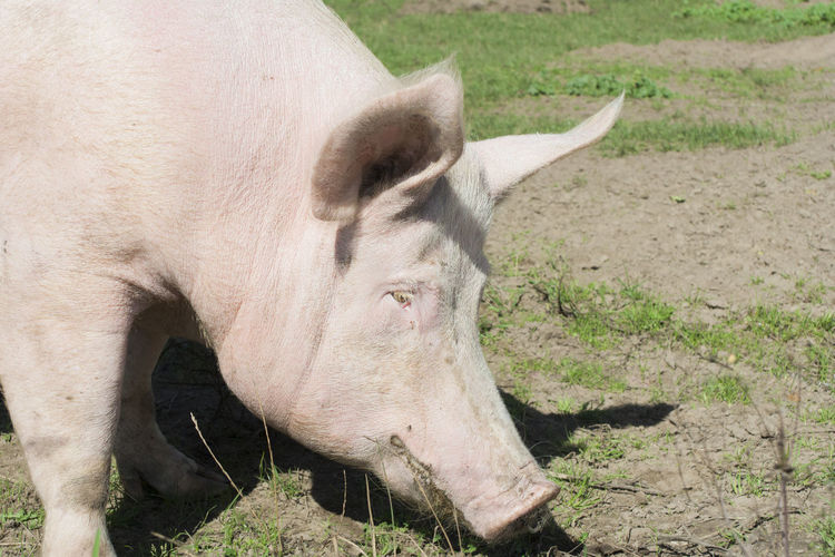 Close-up of pig on field