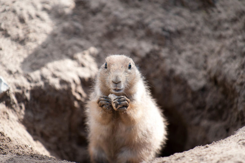 Spermophilus in a hole