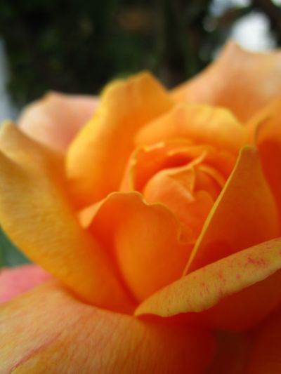 Beauty In Nature Blooming Blossom Botany Close-up Day Flower Flower Head Focus On Foreground In Bloom Nature No People Orange Color Outdoors Selective Focus Soft Focus Rose Softness