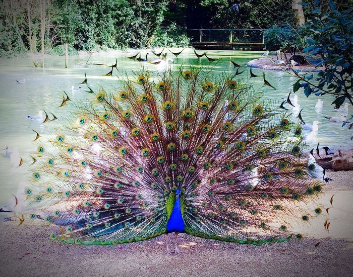 These fancy Italian males Animals Color Portrait Peacock Boy Beautiful Hugging A Tree People Watching Today's Hot Look Birds Playing With The Animals