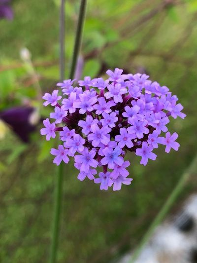 Verbena Bonariensis Flowering Plant Flower Freshness Fragility Vulnerability  Plant Beauty In Nature Close-up Purple Petal Blossom Outdoors Nature Flower Head