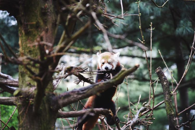 Red Panda In The Wild