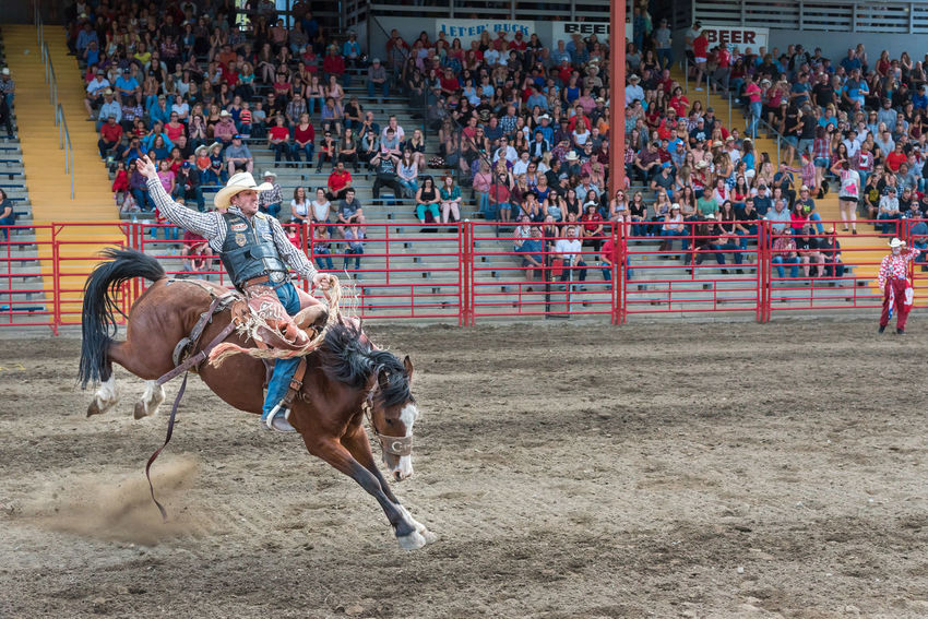 Williams Lake, British Columbia/Canada - July 1, 2016: man rides bucking horse during the saddle bronc competition at the 90th Williams Lake Stampede, one of the largest stampedes in North America 90th Williams Lake Stampede Arena British Columbia, Canada Canadian Professional Rodeo Association Cowboy Man Rodeo Spectators Travel Airborne Audience Bucking Bronco Bucking Horse Competition Dangerous Documentary Editorial  Extreme Sports Horse Professional Rodeo Saddle Bronc Stampede Stands Tourism Wild