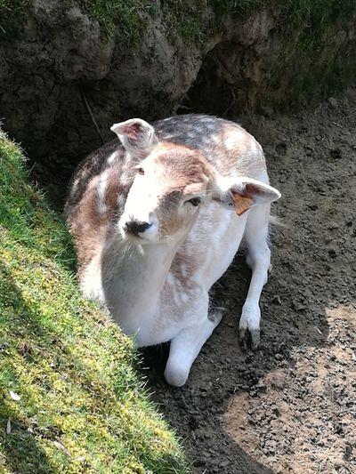 Biche Animal Themes One Animal No People Outdoors Sunlight Bambi Nature Day Promenade Plaisirsimple Huizingen