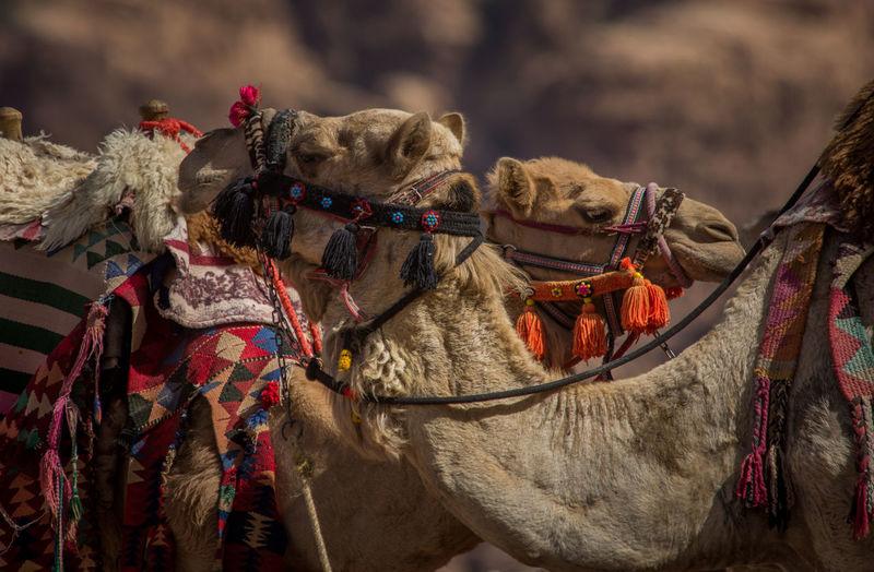 Panoramic view of animal on desert