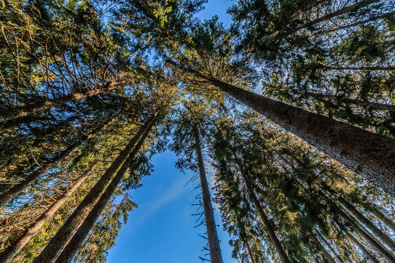 Looking Up Beauty In Nature Black Forest Blue Day Green Green Color Lookingup Low Angle View Nature No People Outdoors Sky Tall - High Tree Tree Trunk WoodLand