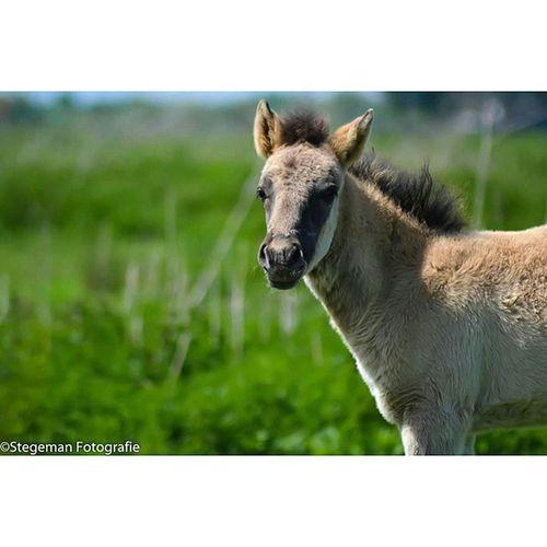 """Veulen"" Veulen Paard Wildpaard Dierfotografie animalphotography horse"