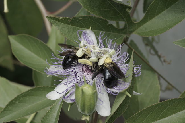 Two bees on a passion flower. Animal Themes Animals In The Wild Beauty In Nature Bee Blooming Close-up Copyspace Day Flower Flower Head Fragility Freshness Green Color Growth Insect Leaf Nature No People Outdoors Passion Flower Petal Plant Pollination Purple Two Insects