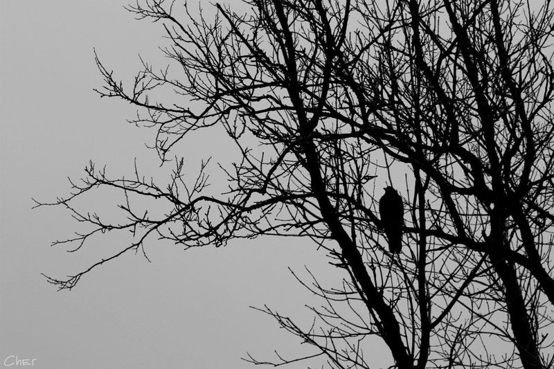 Raven, Evil, Black And White Tree
