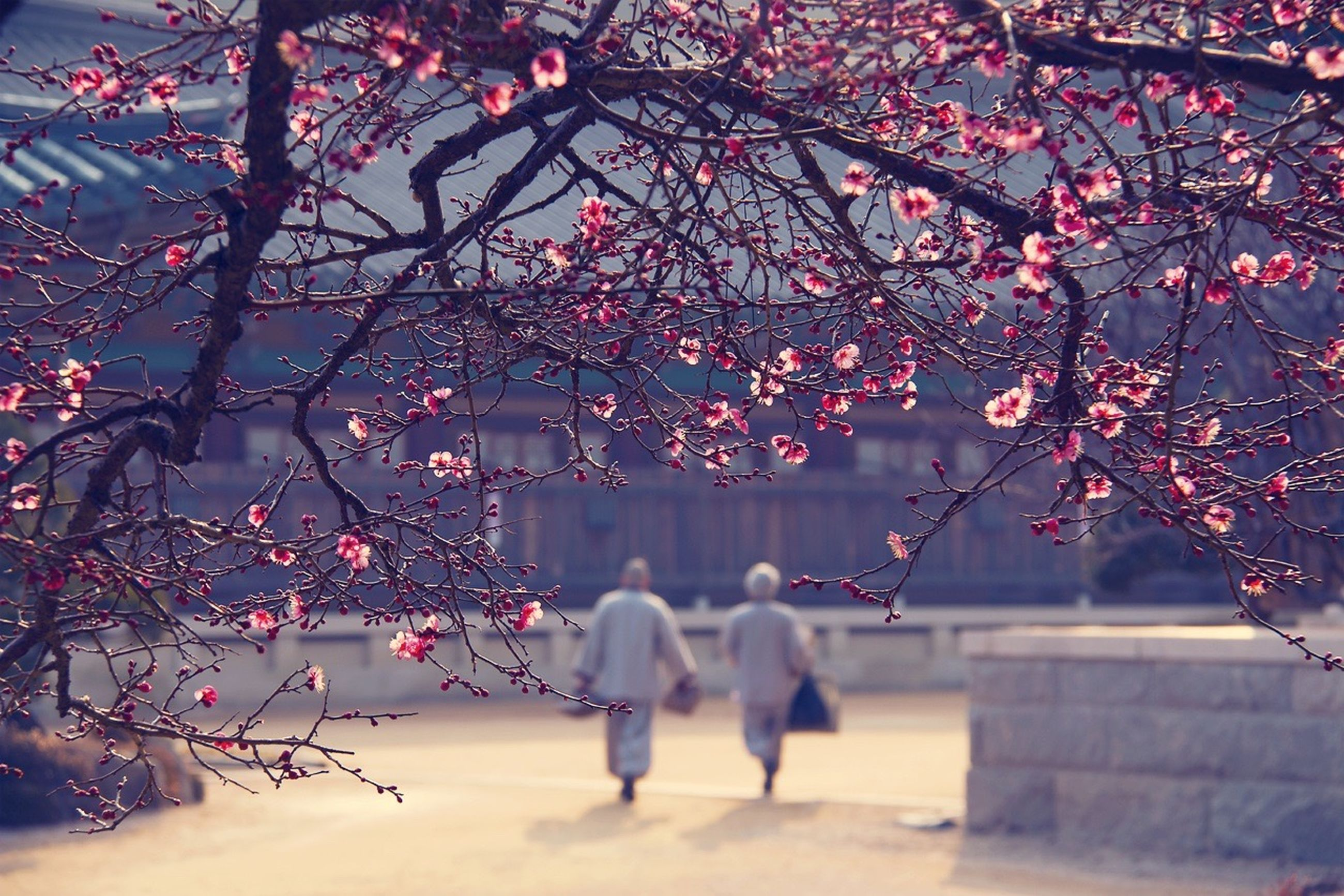 tree, branch, flower, cherry tree, cherry blossom, pink color, outdoors, person, nature, day, focus on foreground, decoration, growth, built structure, low angle view, lifestyles, hanging, walking, men
