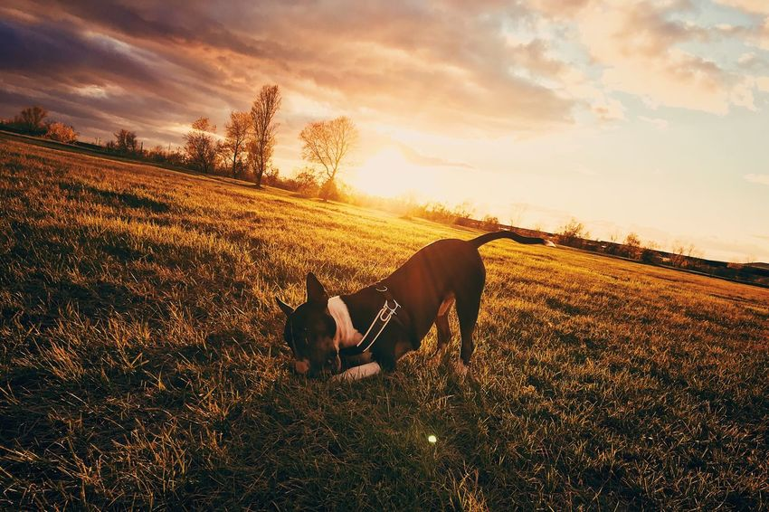 EyeEm Selects Dog Sunset Animal Themes Sky Pets Field Nature Landscape No People Outdoors Scenics English Bull Terrier Bull Terrier