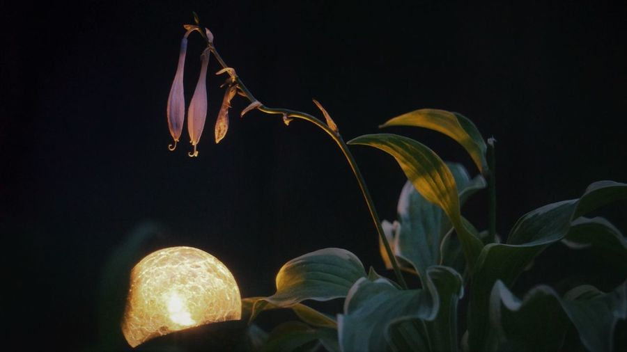 Hosta Bells at Night Light Beauty In Nature Black Background Close-up Flower Flower Head Flowering Plant Freshness Growth Hosta Nature Night No People Plant Vulnerability  HUAWEI Photo Award: After Dark