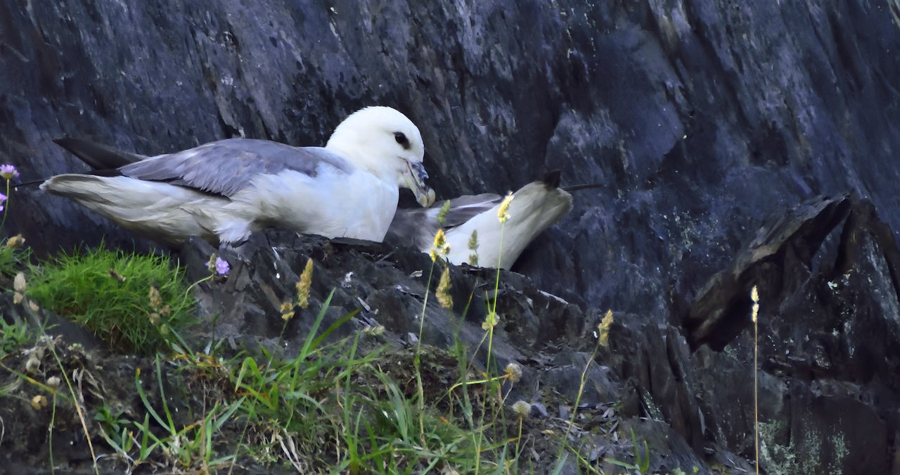 bird, animal themes, animals in the wild, animal wildlife, one animal, nature, day, rock - object, outdoors, perching, no people, seagull, water, close-up, beauty in nature, bird of prey