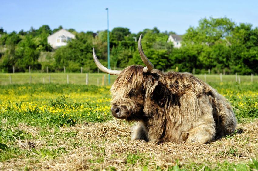 EyeEm Selects One Animal Animal Wildlife Animals In The Wild Mammal Grass Safari Animals No People Outdoors Day Animal Themes Nature Domestic Animals Highland Cow Highland Coo Scottish Cow, Hairy Cow, Sheep Cow, Scottish Cow Moo Scotland