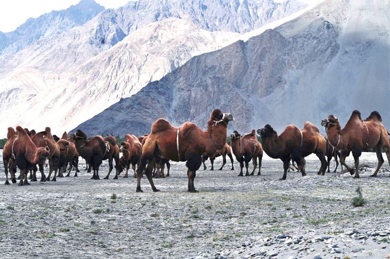 Bactariancamel Ladakh Nubra Desert Mountains Camel Doublehumpcamels India Nature Silkroute Trade Nature Photography Summer Exploratorium