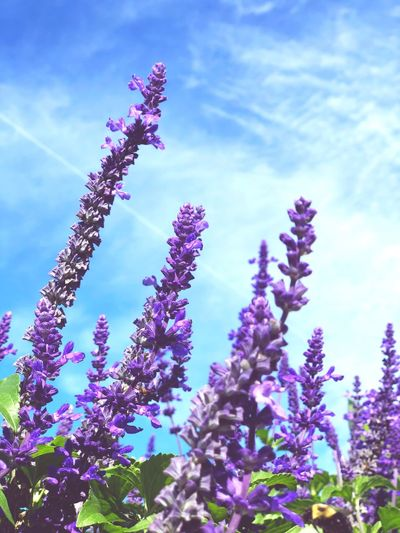 Plant Flower Sky Growth Low Angle View Beauty In Nature Nature Purple Outdoors Day Cloud - Sky