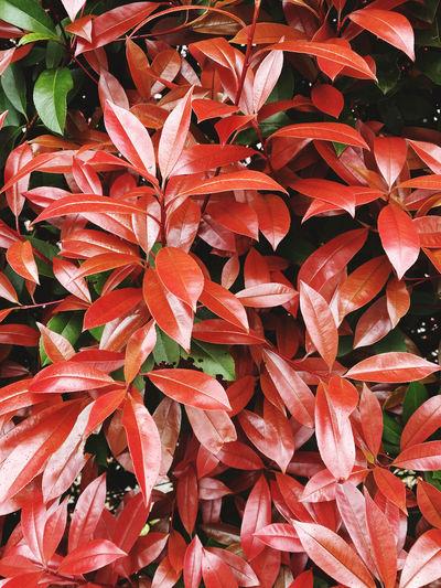 Full frame shot of red flowering plant